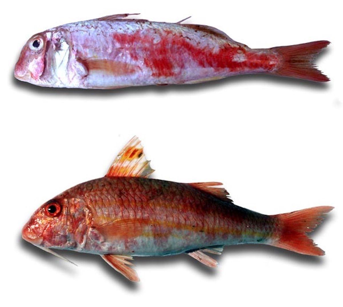 Molls o rogers. Font: Històries de mar [blog]